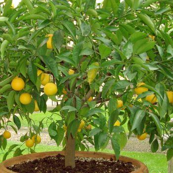 Chá de Casca de Limão Siciliano